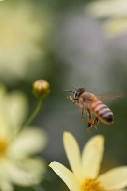 abeilles-fleurs-bio