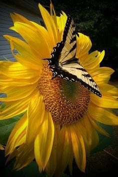 papillon-tourne-soleil