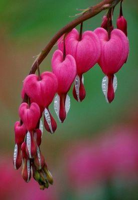 coeur-plante