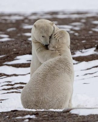 ours-polaire-calin