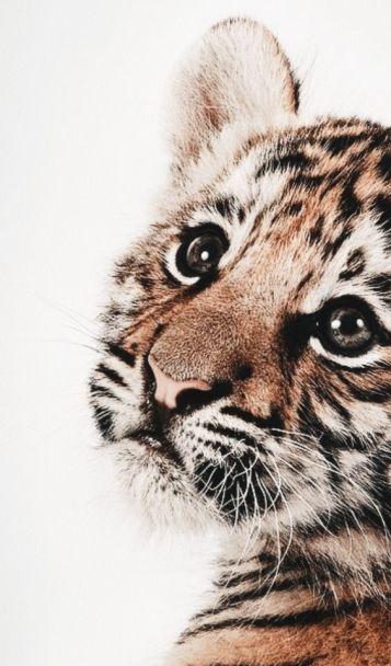 tigre-timide