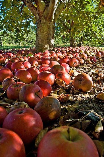 récolte-pommes