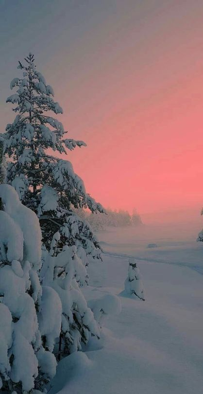 sapins-neige