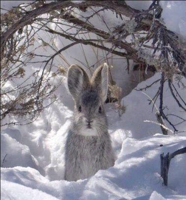 lapin-hiver